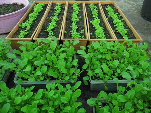 วิธีปลูกผักสวนครัวในกระถาง แม้พื้นที่ในบ้านจะคับแคบ แต่ก็สามารถ ปลูกผักสวนครัวเอาไว้กินเองได้ง่าย ๆ มีผักสด ๆ ไว้กินได้ทุกวัน ...
