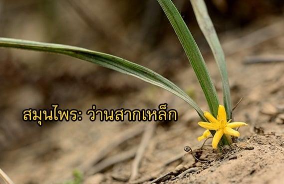 สมุนไพร : ว่านสากเหล็ก thaihealth