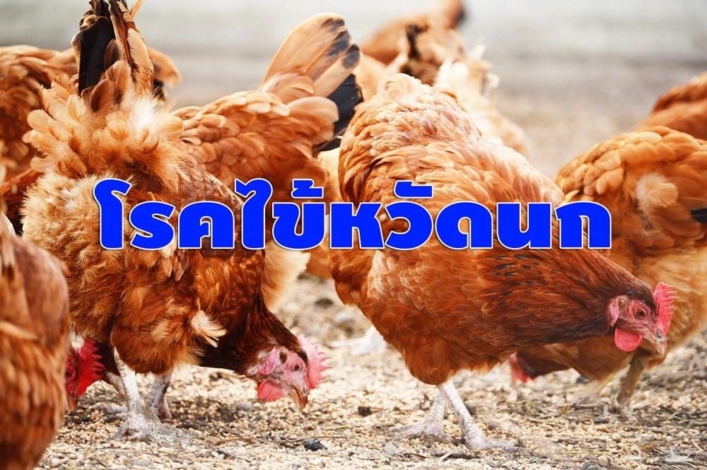 โรคไข้หวัดนก thaihealth