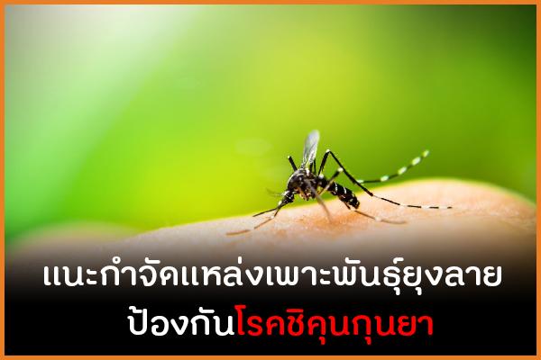 แนะกำจัดแหล่งเพาะพันธุ์ยุงลาย ป้องกันโรคชิคุนกุนยา thaihealth