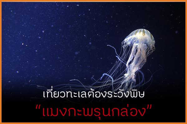 เที่ยวทะเลต้องระวังพิษ แมงกะพรุนกล่อง thaihealth