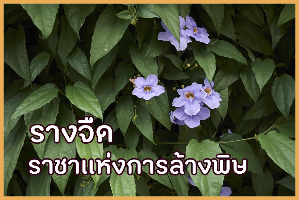 รางจืด ราชาแห่งการล้างพิษ thaihealth