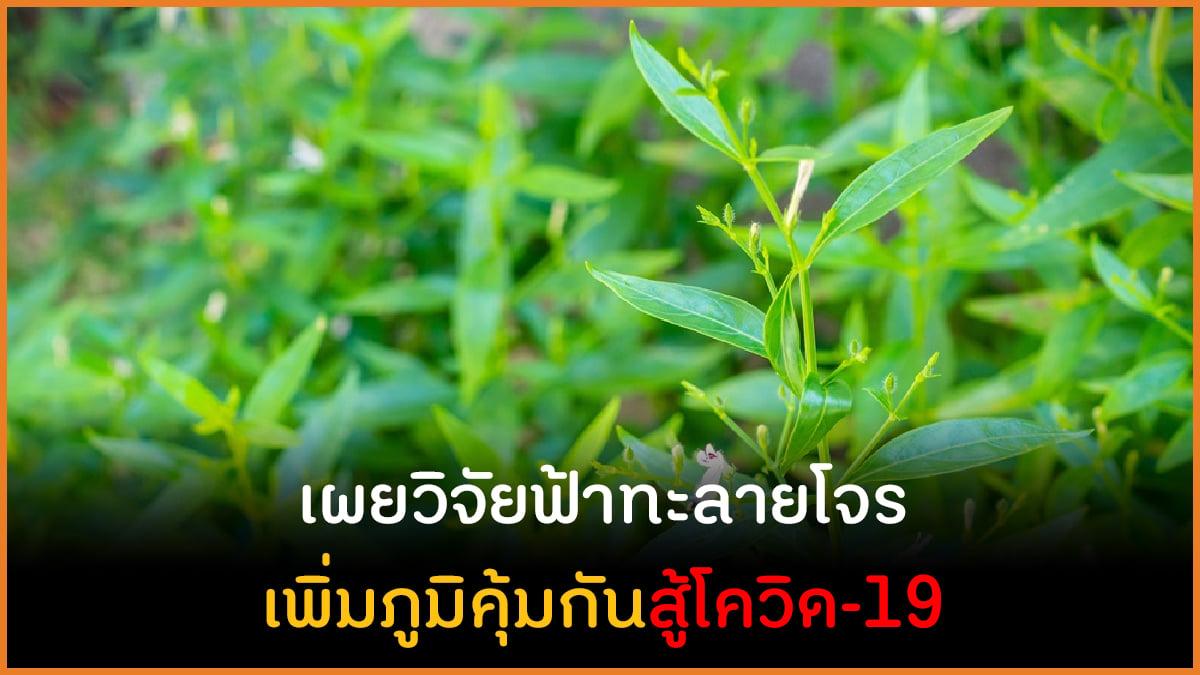 เผยวิจัยฟ้าทะลายโจร เพิ่มภูมิคุ้มกันสู้โควิด-19 thaihealth